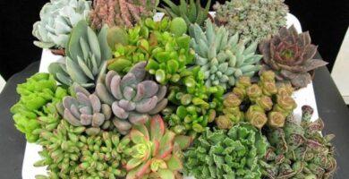 cuidados plantas suculentas