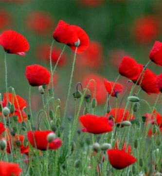 flores de amapolas