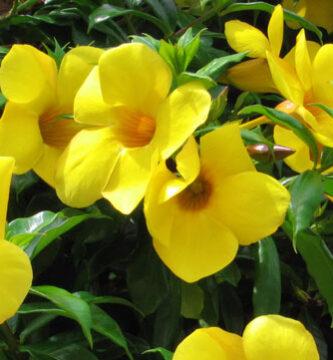 flores de jazmín de cuba