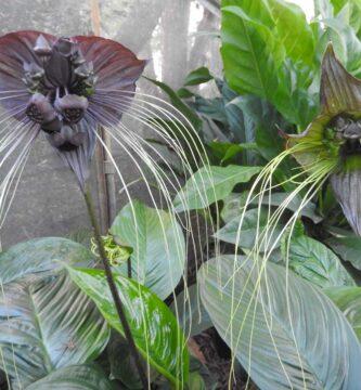 planta murciélago cuidados