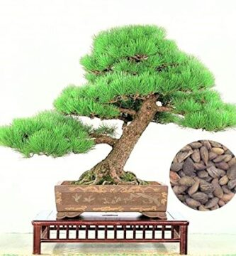 pino negro japonés