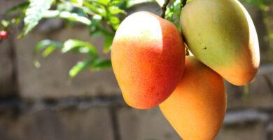 planta de mango
