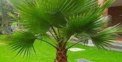Palmito planta