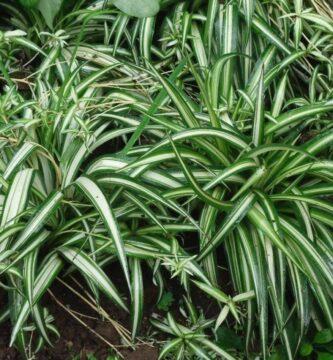 planta malamadre cuidados