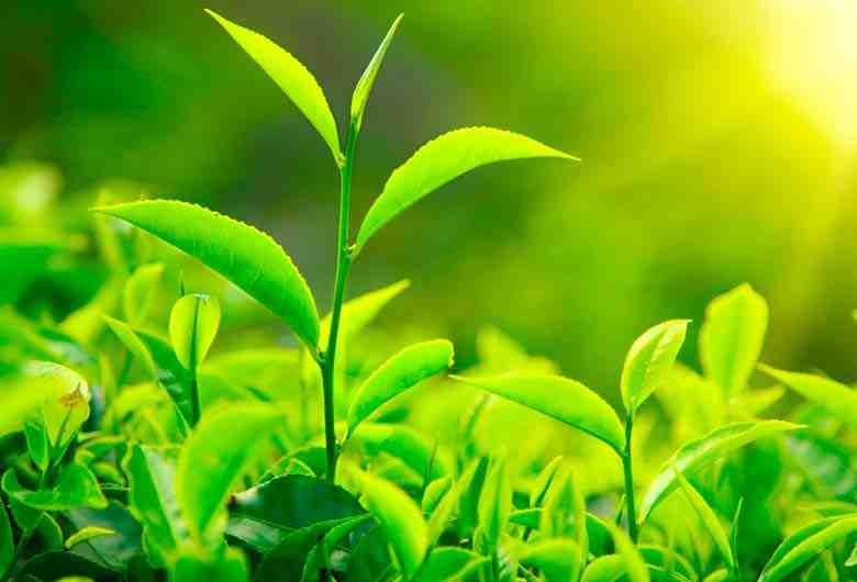 por que las plantas son verdes