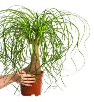 planta pata de elefante