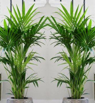 palmeras de interior