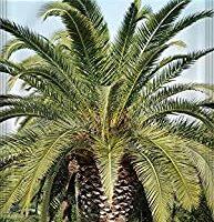 comprar semillas de palmera