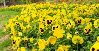 flores amarillas pensamientos amarillos