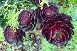 suculenta rosa negra