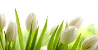 flores blancas tulipanes blancos