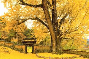 árbol ginkgo biloba