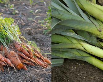 zanahorias y puerros
