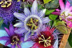 pasiflora propiedades curativas