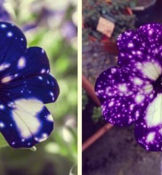 petunias galaxia