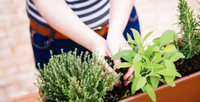 huerto plantas aromáticas